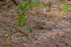 Guling-fakturerad pratmakarefågel royaltyfri foto