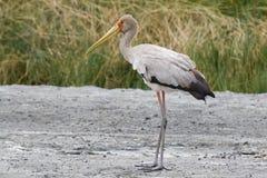 Guling-fakturerad stork Royaltyfri Fotografi