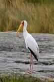 Guling-fakturerad stork Arkivfoton