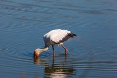 Guling-fakturerad stork Royaltyfri Foto