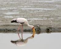 Guling fakturerad Stork Arkivbilder