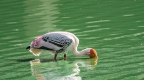 Guling fakturerad Stork royaltyfri foto