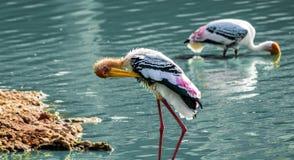 Guling fakturerad Stork royaltyfria foton