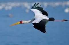 Guling-Fakturerad Stork som är kommande in i land Royaltyfria Foton