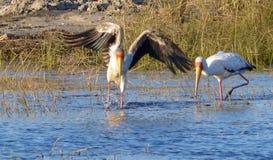 Guling-fakturerade storkar, Chobe flod Royaltyfri Fotografi