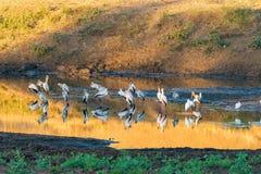Guling-fakturerade storkar, Mycteria ibis, på solnedgången fotografering för bildbyråer
