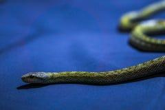 Guling gjord randig orm på mörkblå bakgrund Arkivbild