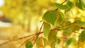 Guling-gräsplan lövverk på trädfilialer i nära skott för höstskog Sidor som svänger i vinden höstlig skog stock video