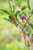 Guling hånglade Caterpillar (Datana Ministra) Arkivfoto
