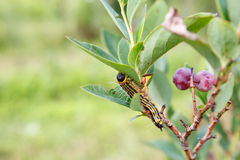 Guling hånglade Caterpillar (Datana Ministra) Arkivfoton