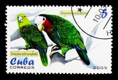 Guling-krönad amason (den Amazonaochrocephalaen och leucocephalaen), P Fotografering för Bildbyråer