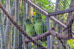 Guling krönad grön amasonpapegoja i Puerto de la Cruz, jultomten C Arkivfoto