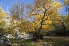 Guling lämnar det gamla poppelträdet i nedgången Träd i kanjonerna av sydvästerna Arkivbild