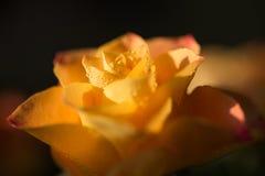 Guling med apelsinrosblomman med dagg, slut upp Royaltyfria Bilder