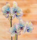 Guling med den blåa fläckfilialorkidén blommar, orchidaceaen, Phalaenopsis som är bekant som malorkidén Arkivbilder