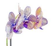 Guling med den blåa fläckfilialorkidén blommar, orchidaceaen, Phalaenopsis som är bekant som malorkidén Arkivbild
