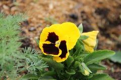 Guling och burgundy blommar penséen som växer i en trädgård Fotografering för Bildbyråer