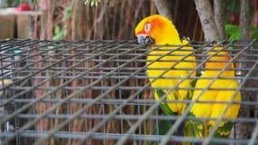 Guling och den orange papegojan i en bur på offentligt parkerar Jandaya parakiter royaltyfria foton