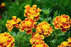 Guling och den röda blomman i trädgården sken på solen Royaltyfri Bild