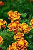Guling och den röda blomman i trädgården sken på solen Arkivfoto
