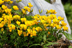Guling och grå färger; lotusblommaalpinus Fotografering för Bildbyråer