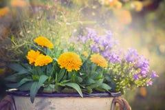 Guling- och lilaträdgårdblommor samlar ihop på sommar- eller höstnaturbakgrund Arkivbild