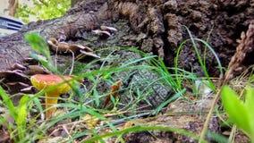 Guling och orange champinjon bredvid ett träd royaltyfria foton