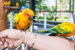 Guling och orange kvinna för papegoja förestående i en stor bur thailand Royaltyfria Foton