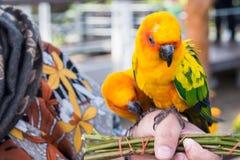 Guling och orange kvinna för papegoja förestående i en stor bur thailand Arkivfoto