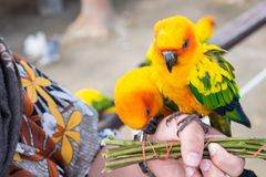 Guling och orange kvinna för papegoja förestående i en stor bur thailand Royaltyfri Bild