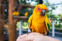 Guling och orange kvinna för papegoja förestående i en stor bur thailand Royaltyfria Bilder