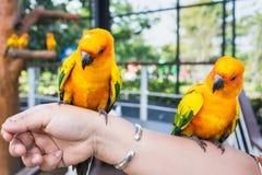 Guling och orange kvinna för papegoja förestående i en stor bur thailand Arkivbild