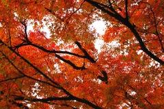 Guling och orange och röda lönnlöv i höstskog Royaltyfria Foton
