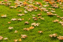 Guling och orange stupade lönnlöv på ett ljust - grön gräsmatta Au arkivbilder