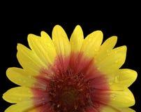 Guling och röd blomma efter regnet Svart bakgrund med den snabba banan Closeup med inga skuggor Arkivbild