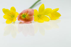 Guling och röda blommor med reflexion på vit bakgrund Fotografering för Bildbyråer