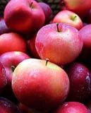 Guling och röda saftiga äpplen, äpplen i snön Royaltyfri Fotografi