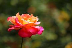 Guling- och rosa färgros royaltyfria bilder