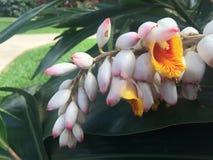 Guling och rosa tropisk bakgrund för konst för hawaiiboblommavägg arkivbild