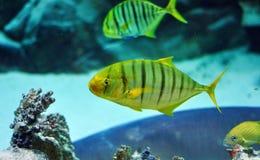 Guling och svart gjorde randig fisken i akvarium Royaltyfri Bild