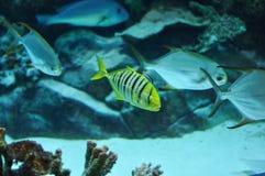 Guling och svart gjorde randig fisken i salwater Royaltyfria Foton