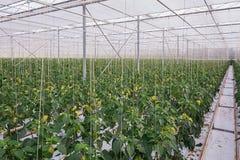 Guling pepprar att växa i ett stort växthus i Nederländerna royaltyfri bild