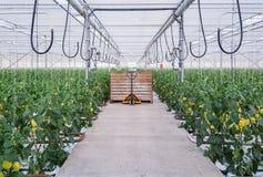 Guling pepprar att växa i ett stort växthus i Nederländerna royaltyfri foto