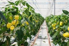 Guling pepprar att växa i ett stort växthus i Nederländerna arkivbild