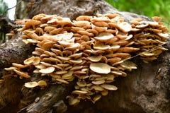 Guling plocka svamp att växa på en stupad trädstam Royaltyfri Fotografi