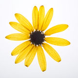 Guling pressande blomma Arkivbilder
