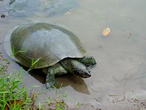 Guling-prickiga en Amazon River sköldpaddaPodocnemis unifilis som värma sig på en inloggning den peruanska amasonen arkivbild