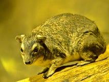 Guling-prickigt vagga hyraxen, den Heterohyrax bruceien som sitter på en vagga Arkivfoton