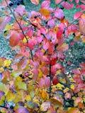 Guling-röd buske för höst av vargbär arkivfoton