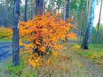 Guling-röd buske för höst i en skog royaltyfri fotografi